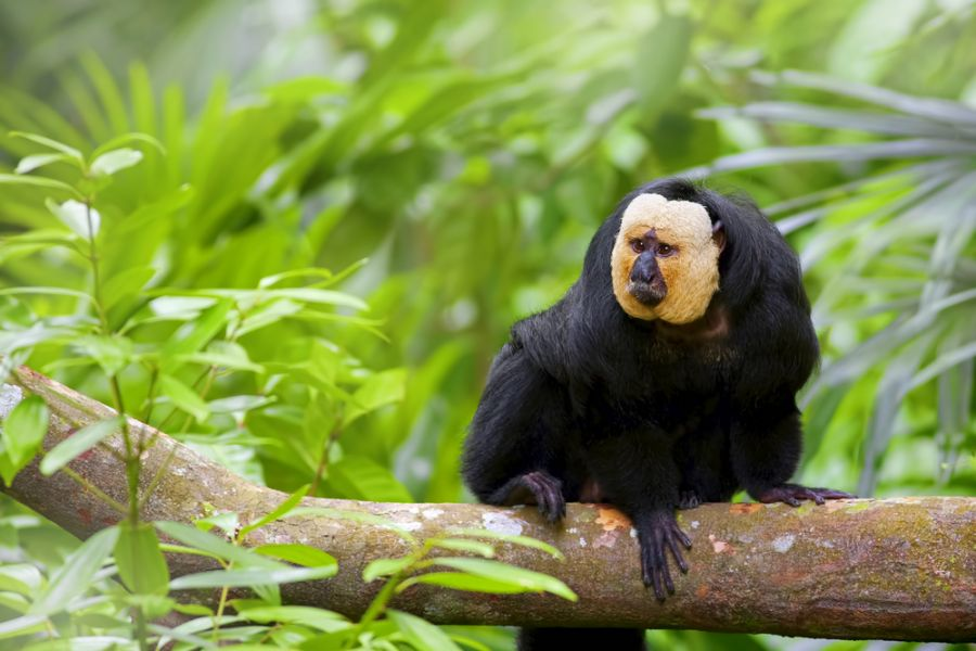 Suriname PZ5W Tourist attractions White-faced Saki Monkey