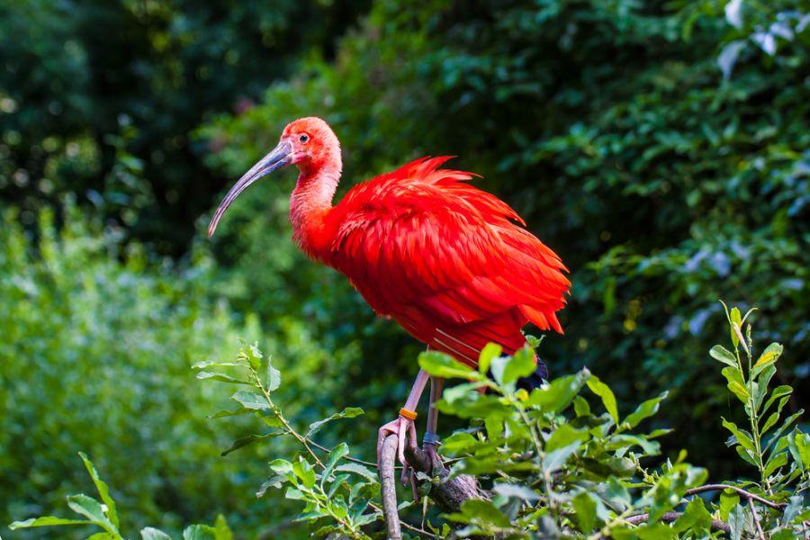 Suriname PZ5W Scarlet Ibis