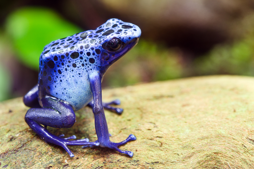 Suriname PZ5AV DX News Blue poison dart frog