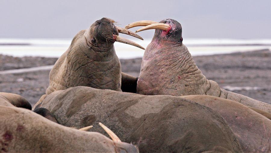 Svalbard JW/DK1BT JW/DL4WK JW/DL7DF JW/DL7UFR Fighting walruses.