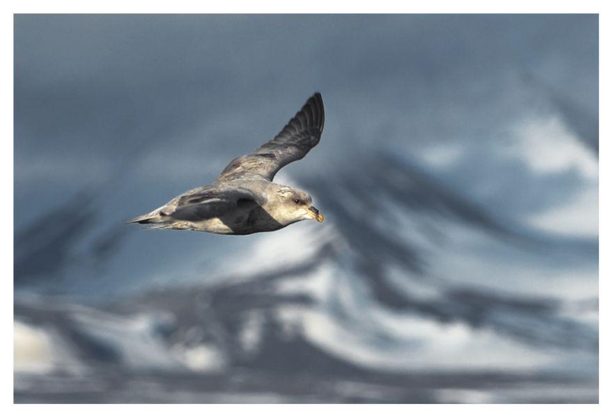 Svalbard Island JW/LA8EKA Tourist attractions spot Fulmar.