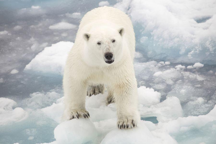 Svalbard JW/M0UNN DX News Polar Bear.