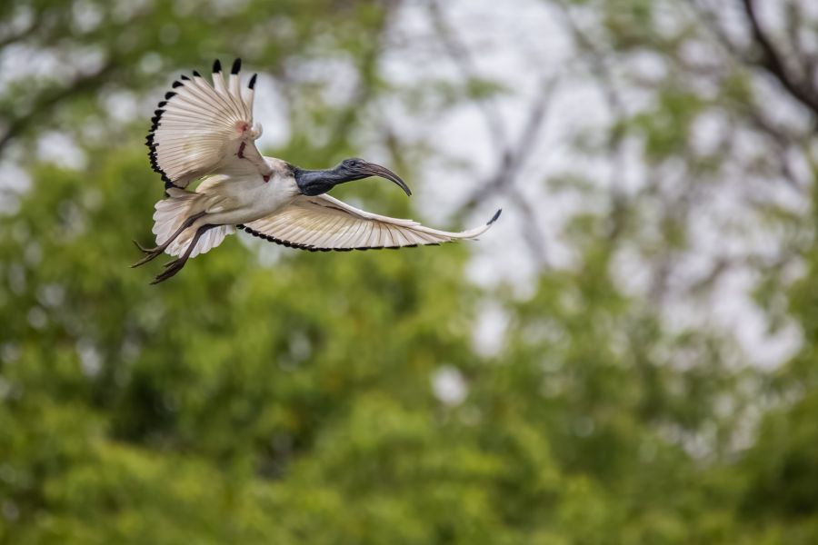 Swaziland 3DA0CC 3DA0IJ DX News African sacred ibis in flight.