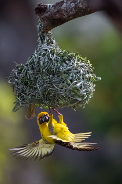 Swaziland 3DA0CC 3DA0IJ Tourist attractions spot A southern masked weaver trying to enter inside his nest.