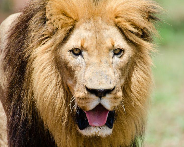 Swaziland 3DA0CC 3DA0IJ Lion.