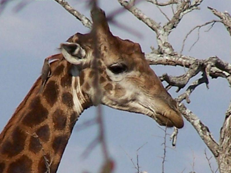 Swaziland 3DA0MS DX News Giraffe.