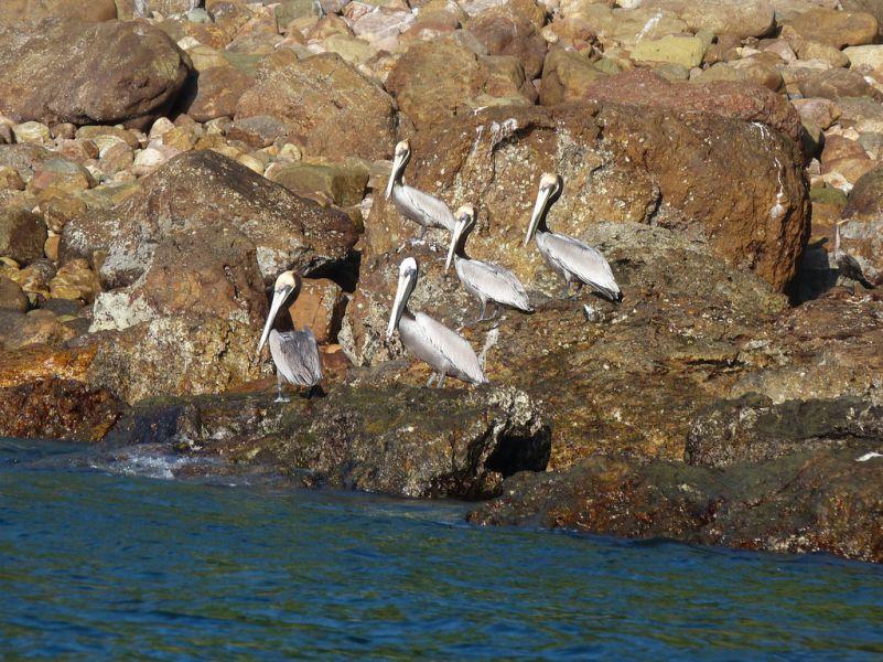 Остров Табога HP1/LU9EFO Туристические достопримечательности Коричневые пеликаны.