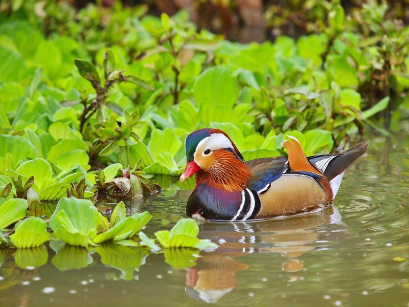 Тайвань BW/JL3RDC Туристические достопримечательности Мандариновая утка