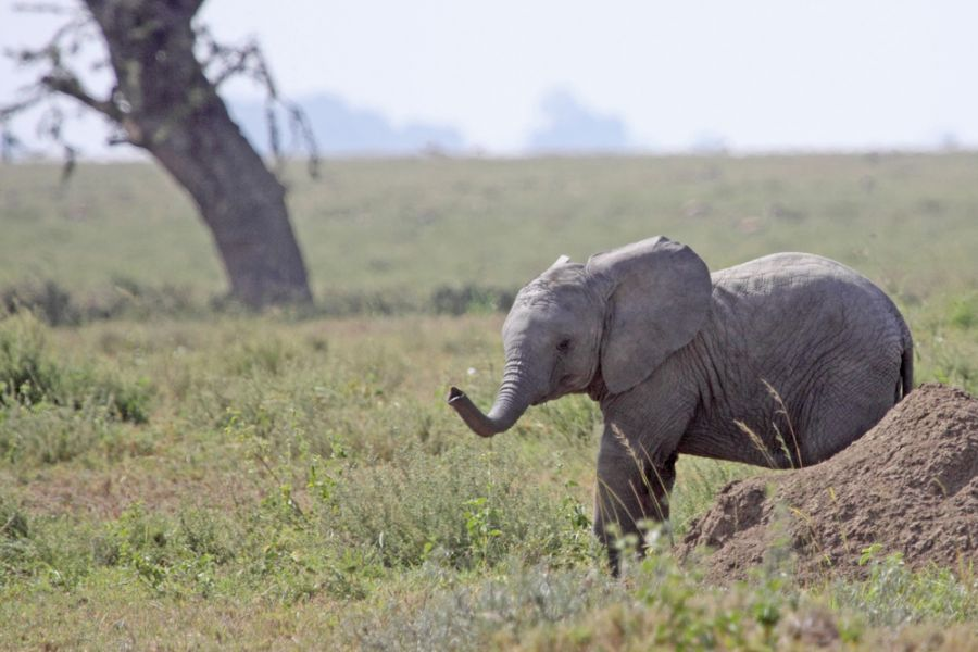 Tanzania 5H2SF DX News Young african elephant emerging from behind a termite mound in the Serengeti national park.