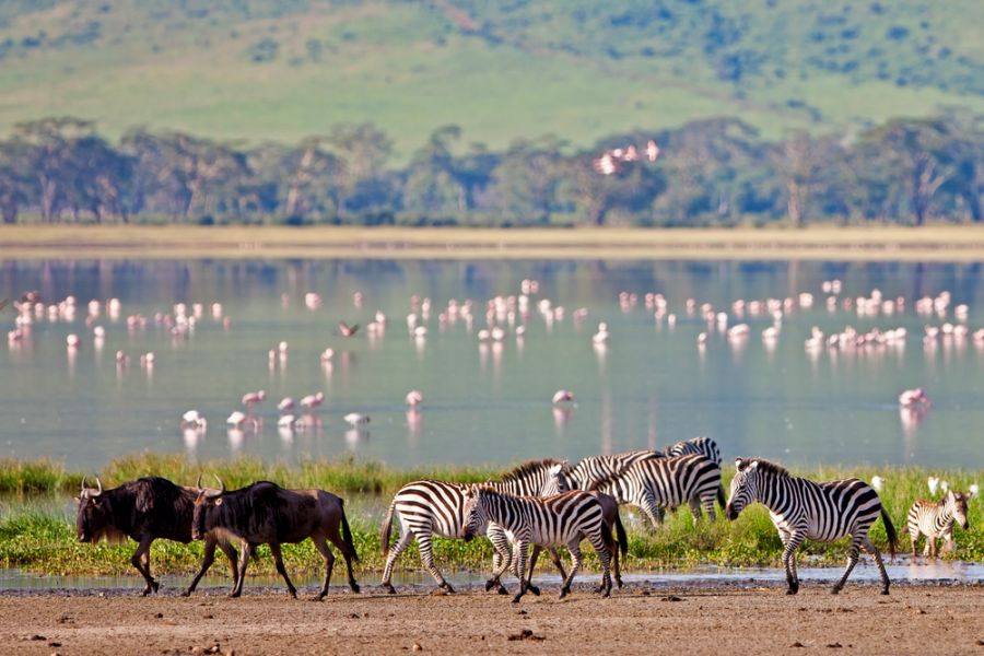 Tanzania 5H2SF Zebras and a wildebeest walking beside the lake in the Ngorongoro Crater.