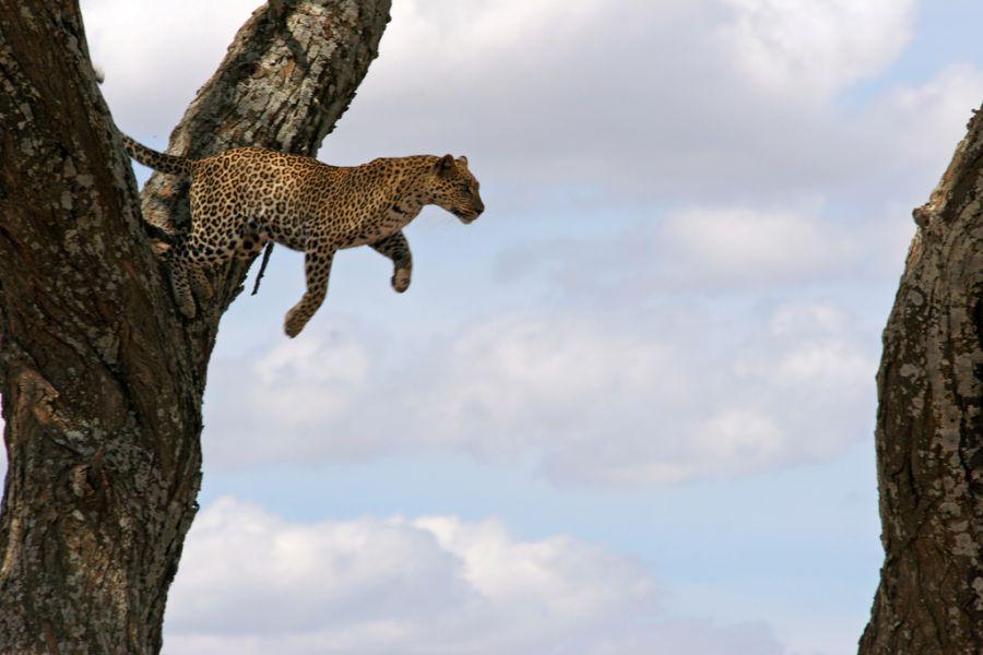 Танзания 5H3JA Туристические достопримечательности Прыжок леопарда.
