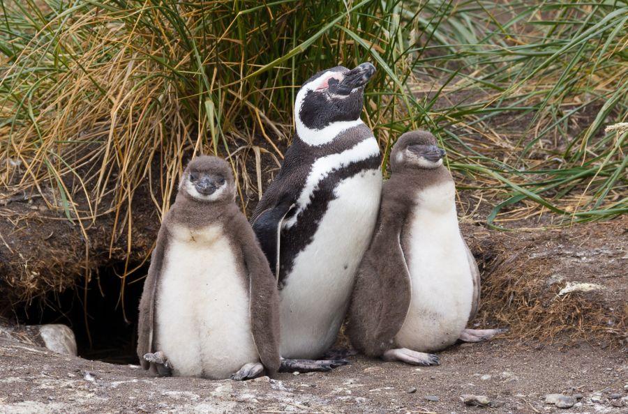 Tierra del Fuego 3G9JA Tourist attractions spot Magellanic penguins.