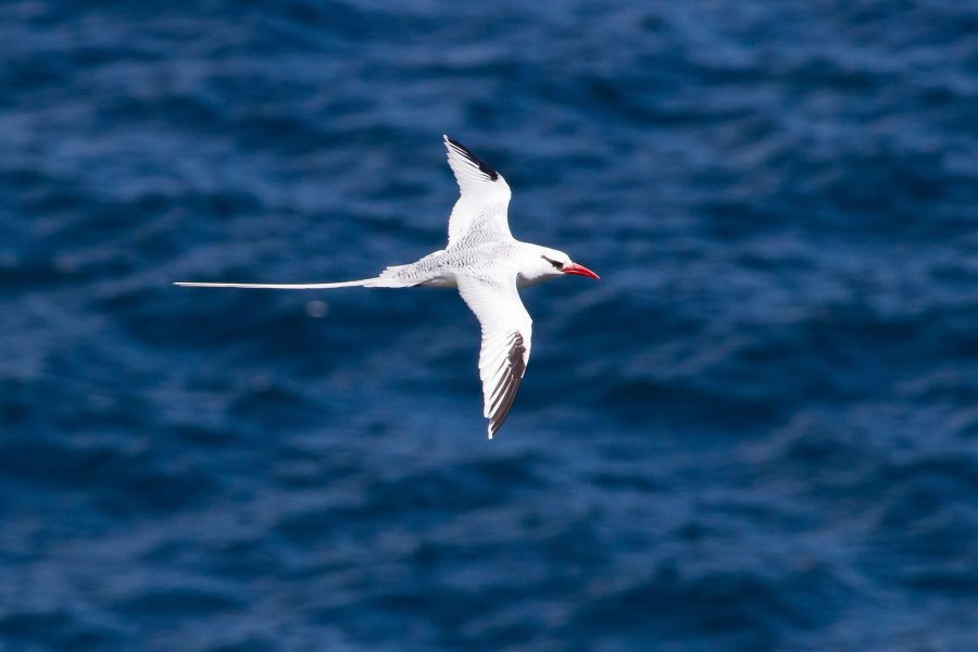 Tobago Island 9Y/K2HVN DX News Red-billed Tropicbird.