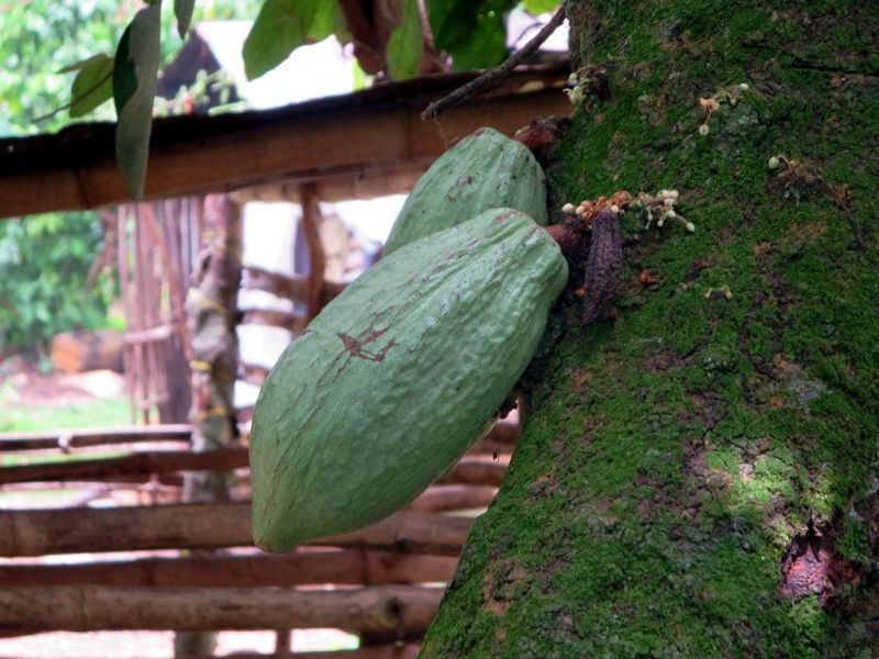 Togo 5V7D DX News Cocoa pods in the Plateaux Region around Kpalime.