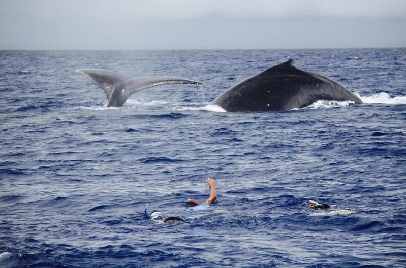 Tonga A31YM Swimming with whales