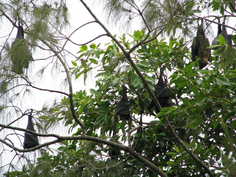 Tongatapu Island A35T DX News Flying foxes.