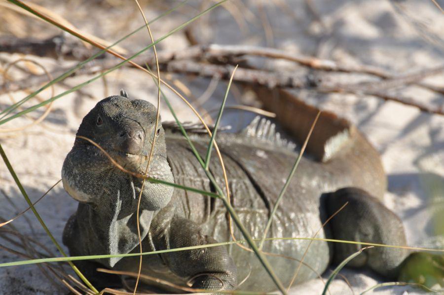 Turks and Caicos Islands VP5/W5RF DX News Iguana