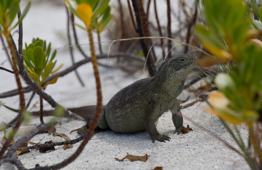 Turks and Caicos Islands VP5/W5RF Tourist attractions spot Iguana