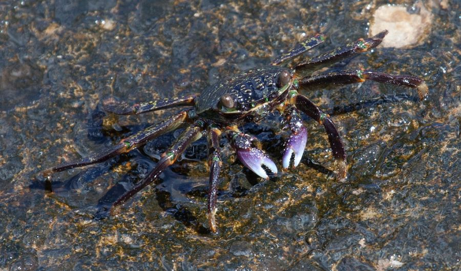 Tutuila Island KH8/KC0W DX News American Samoa Colourful Crab.