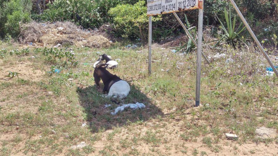 Хаи Хаи Мозамбик Двухцветные домашние козлы
