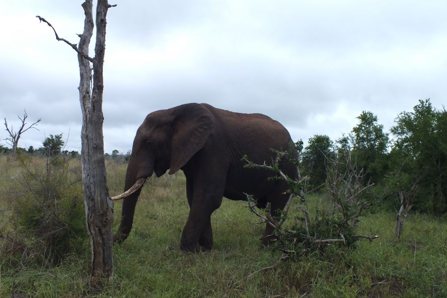 Свазиленд Африканский слон