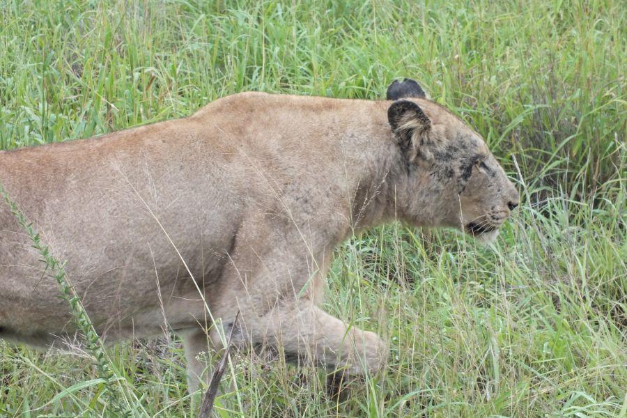 Свазиленд Львица прошла так близко, что мы слышали, как шерсть трется об обшивку…