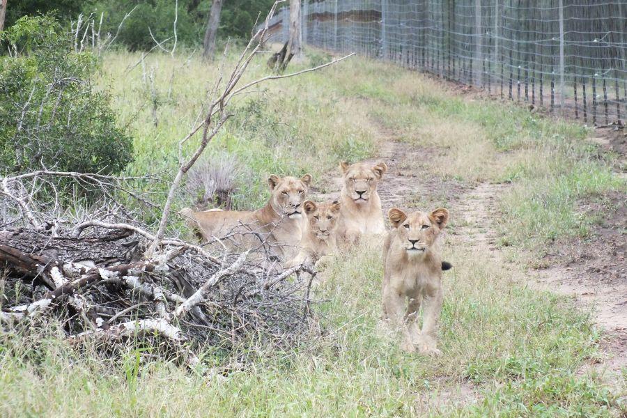 Свазиленд Львы