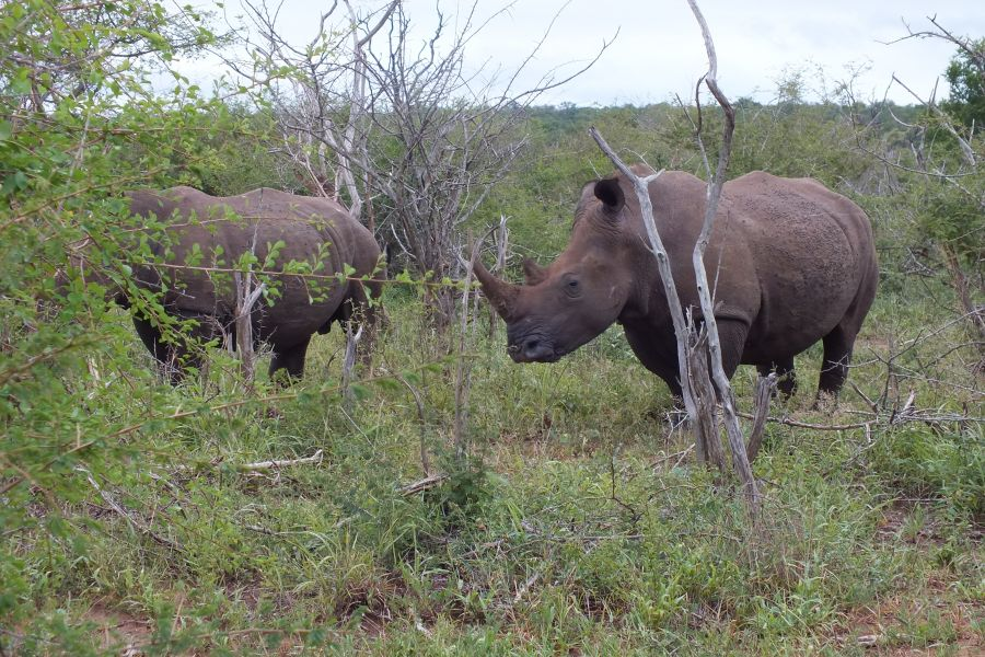 Свазиленд Носороги