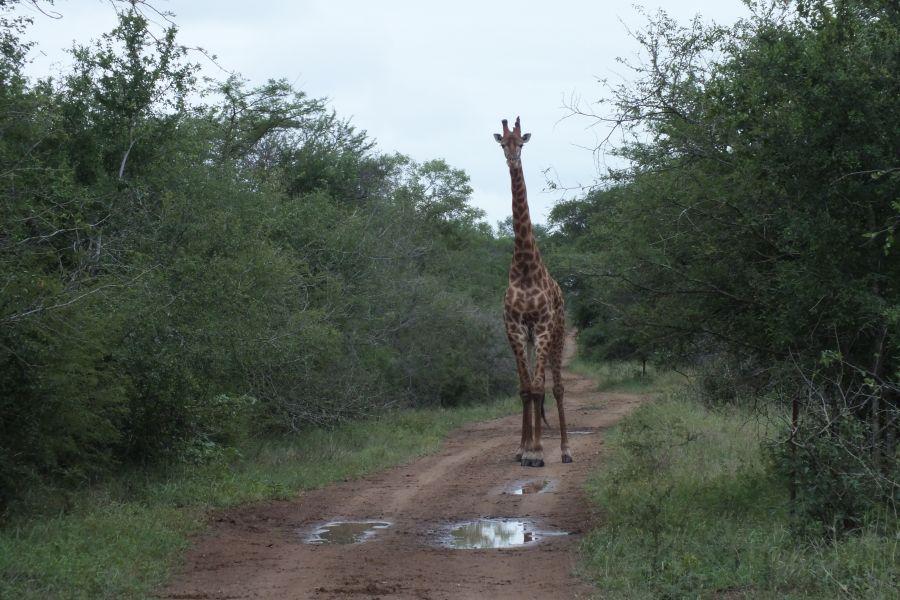 Свазиленд Жираф