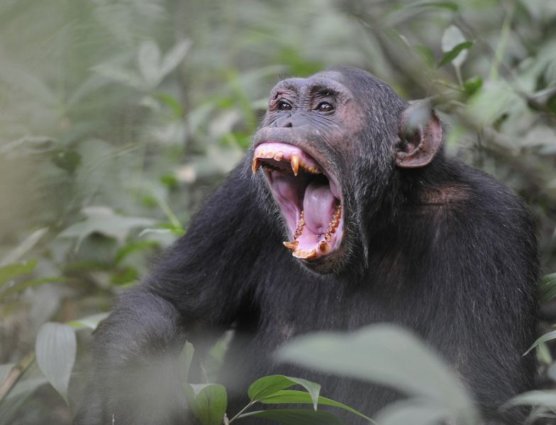 Uganda 5X1O DX News Chimpanzee at Kibale.
