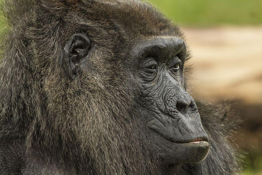Uganda 5X1O Tourist attractions spot Gorilla, Ruwenzori.