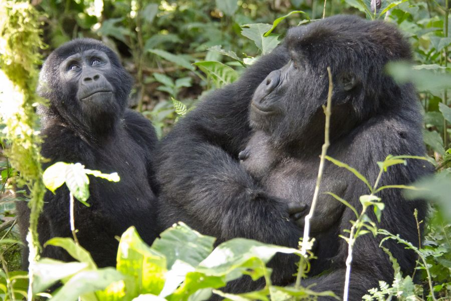 Uganda 5X1O Waiting for the Silverback, Mountain Gorillas, Bwindi Impenetrable Forest.