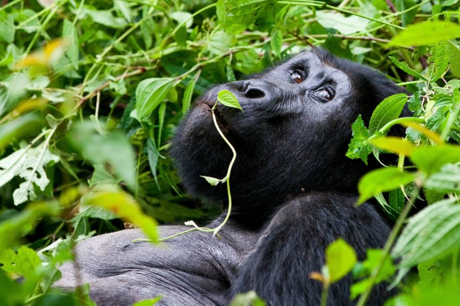 Uganda 5X2A Tourist attractions spot One of the most endangered animals, a great silverback Mountain Gorilla, in the Bwindi National Park in Uganda.
