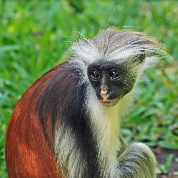 Unguja Island Zanzibar Islands 5H1WW Tourist attractions spot Red Colobus.