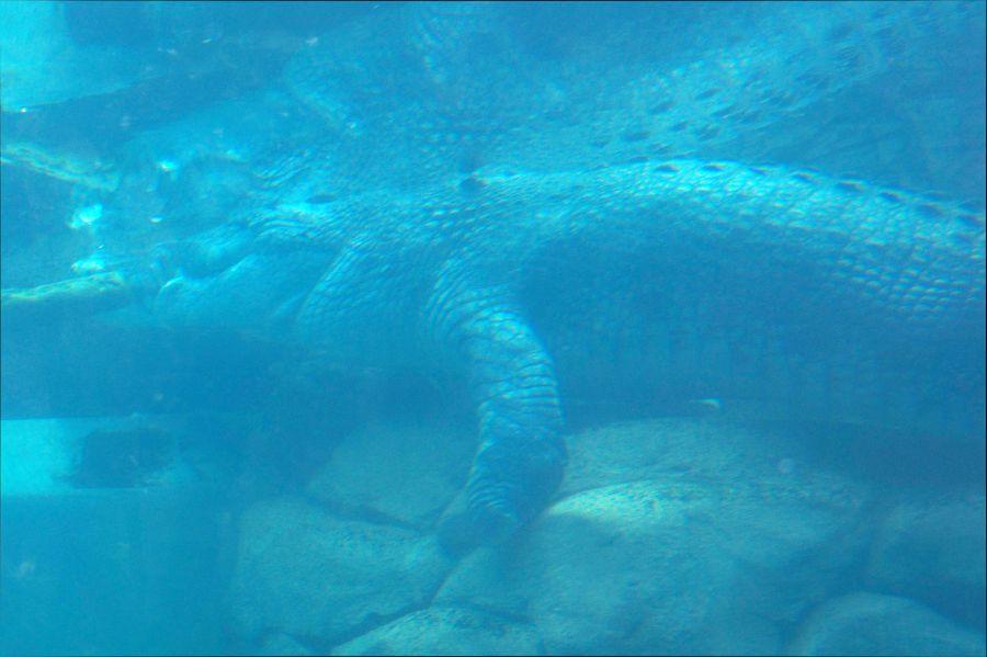 VK5MAV/8 Дарвин Крокодил 1