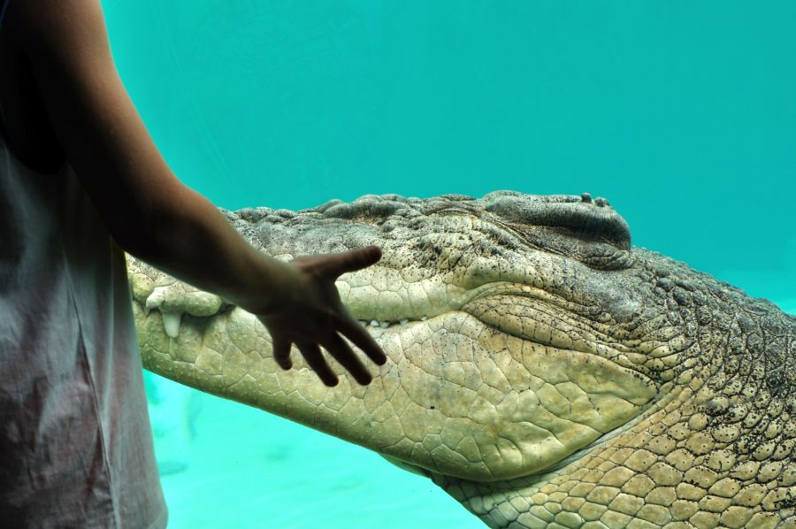 VK5MAV/8 Дарвин Андрей и крокодил