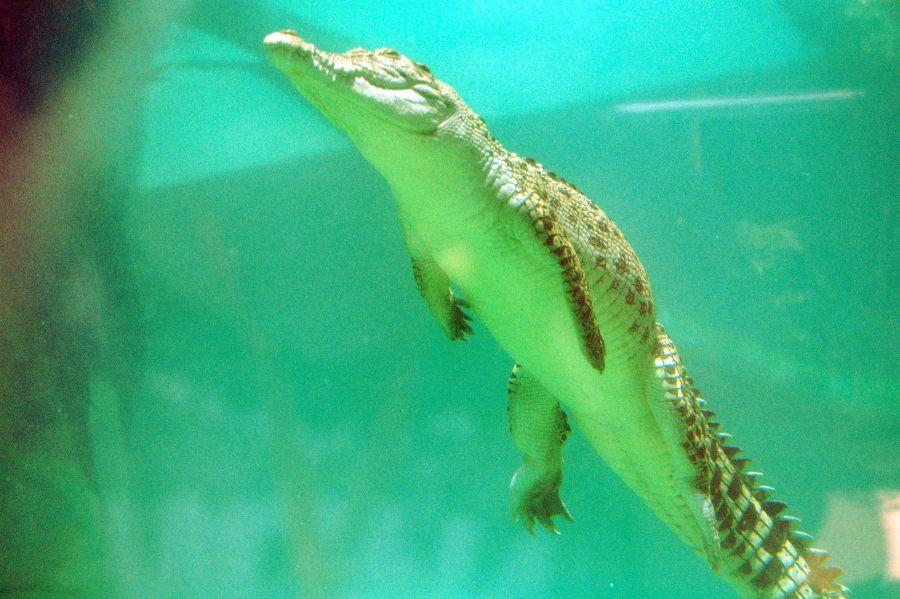 VK5MAV/8 Дарвин Крокодил