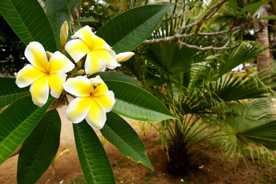 Vava'u Islands  A35JP/P Yellow plumeria flowers