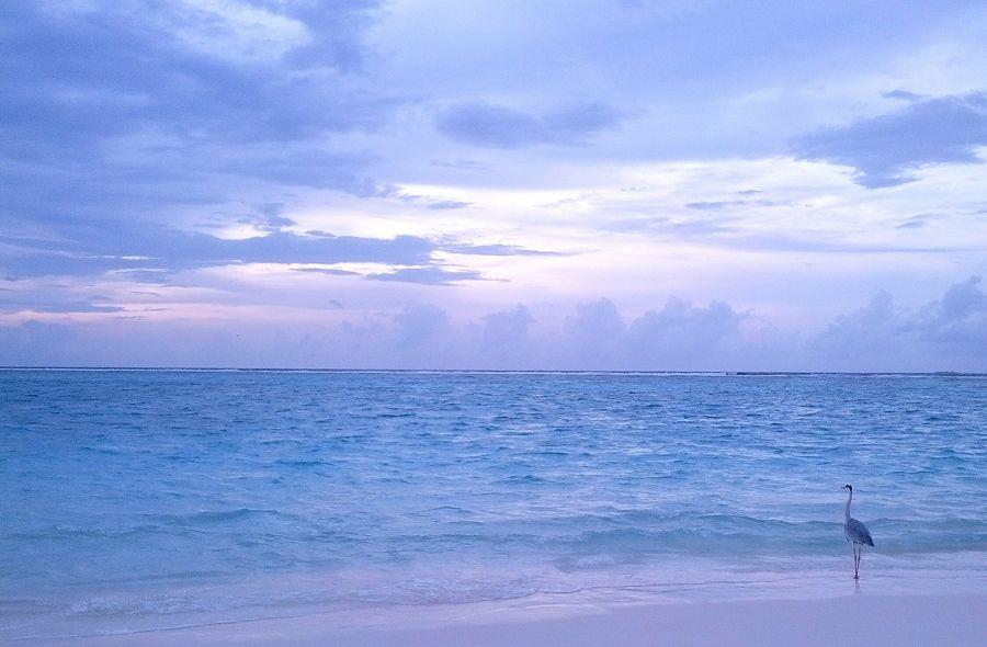 Velassaru Island Maldives 8Q7JC Tourist attractions spot Heron.