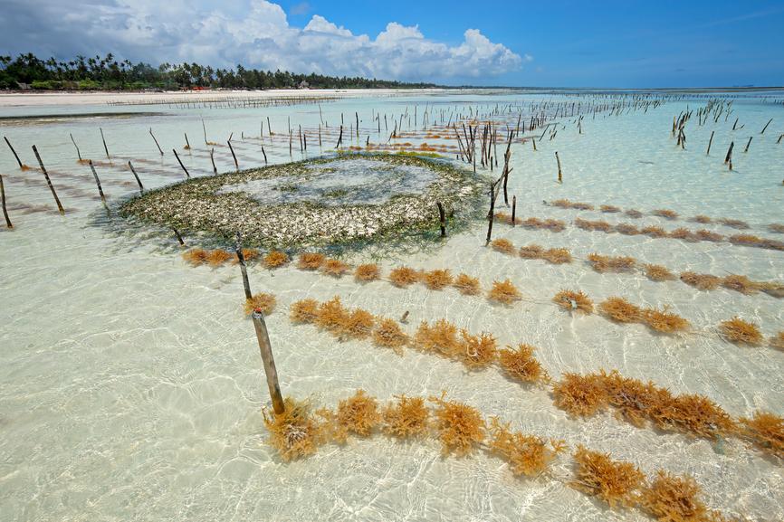 Остров Занзибар 5H1ES Ферма по выращиванию морских водорослей