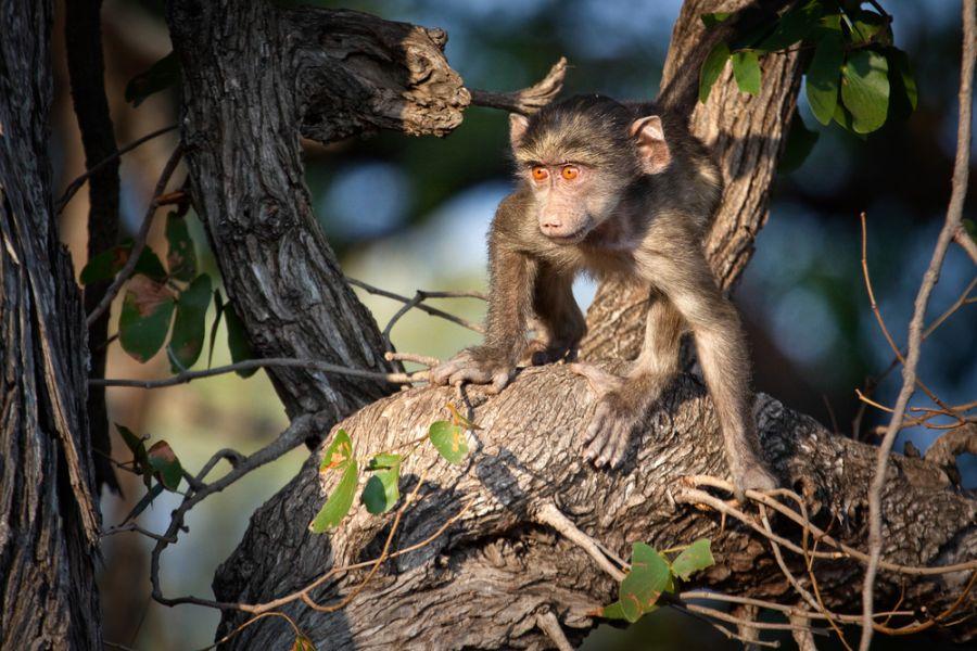 Зимбабве Z21MH Туристические достопримечательности Обезьяна на дереве.