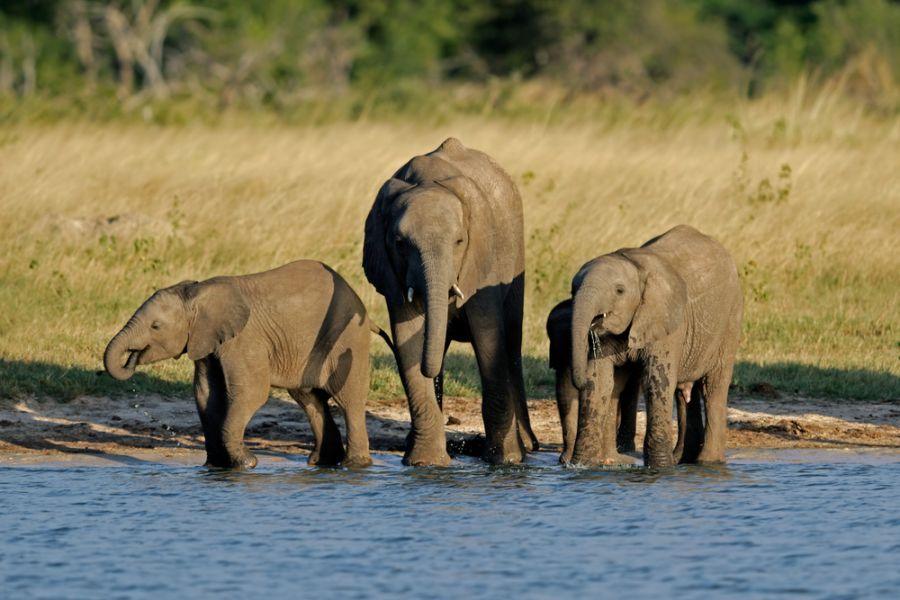 Зимбабве Z21MH Четыре молодых африканских слона на водопое.