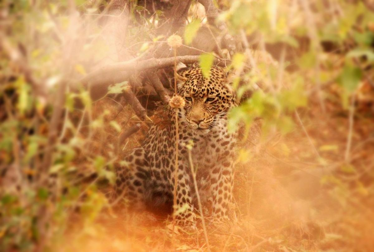 A21TX Leopard, Mashatu Game Reserve, Botswana.