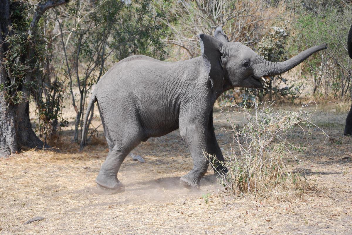 A25VR Elephant, Okavango Delta, Botswana.