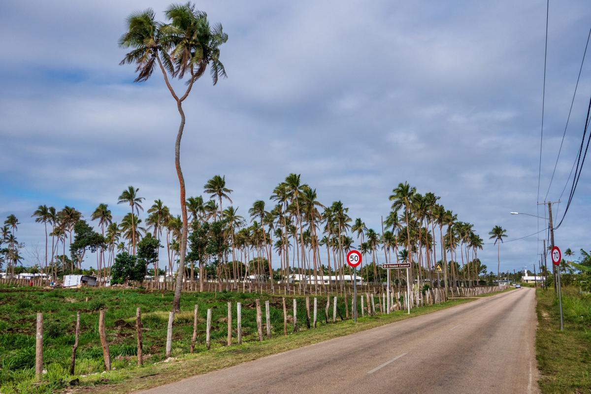 A35EU Трех головая кокосовая пальма, остров Тонгатапу, Тонга. Туристические достопримечательности.