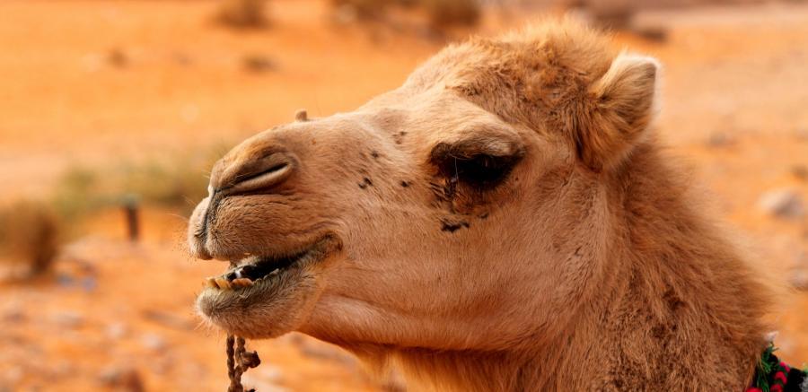 Алжир 7X2DE Туристические достопримечательности Верблюд.