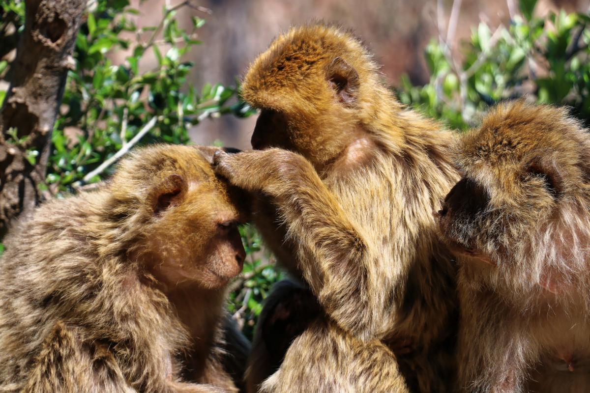Семейство макак, Беджая, Алжир