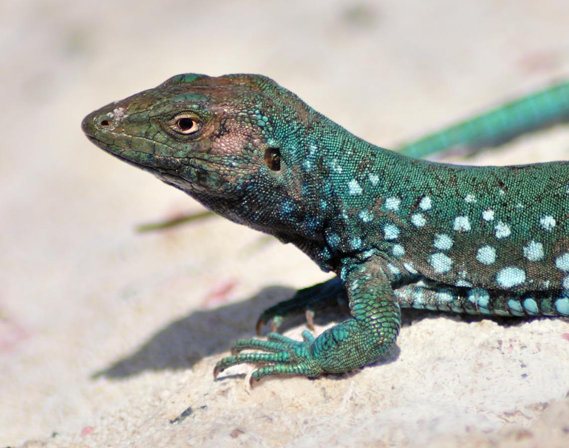 Aruba P4/DL7AT DX News Aruban Whiptail lizard (Cnemidophorus arubensis)