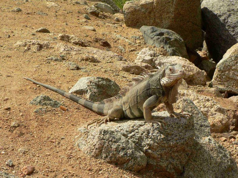 Aruba P4/S50N Tourist attractions spot Iguana