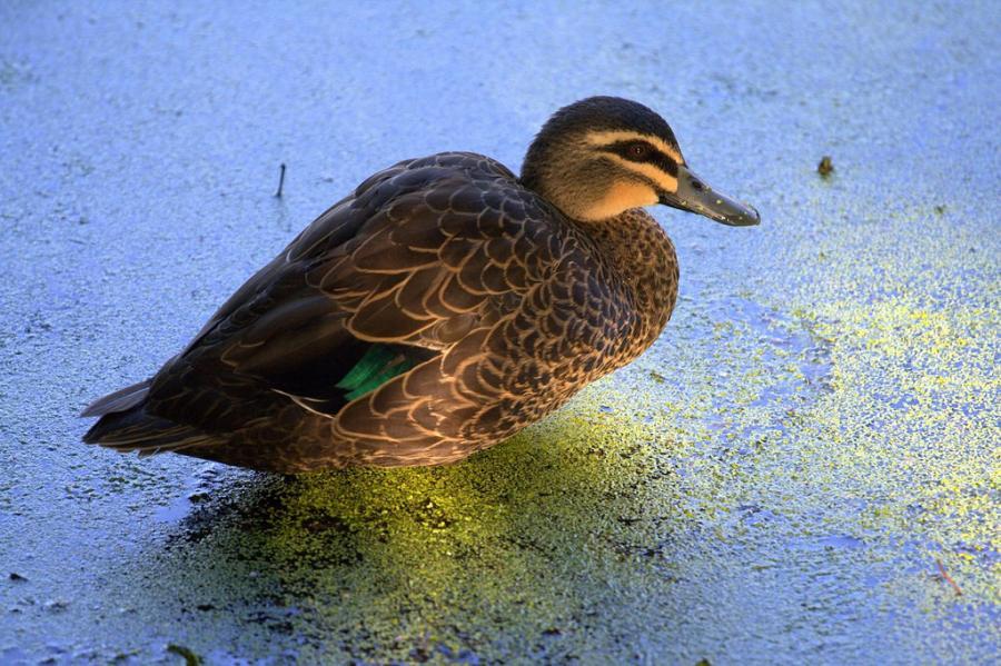 Perth Australia VK6NC Pacific Black Duck, Hyde Park Lake.
